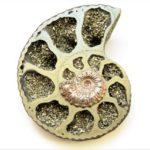 Ammonite, Pyritized